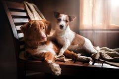 尾随杰克罗素狗并且尾随新斯科舍鸭子敲的猎犬假日 库存图片