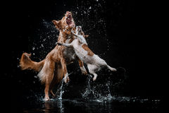 尾随杰克罗素狗并且尾随新斯科舍鸭子敲的猎犬,狗使用,跳跃,跑,移动在水中 免版税图库摄影
