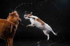 尾随杰克罗素狗并且尾随新斯科舍鸭子敲的猎犬,狗使用,跳跃,跑,移动在水中 免版税库存图片