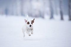 尾随杰克罗素狗,跑的狗户外 免版税库存图片