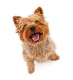 尾随查出的狗白色约克夏 免版税库存图片