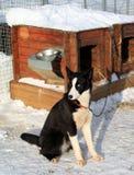 尾随狗山musher pasterka波兰雪撬小的表村庄 免版税库存照片