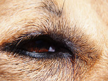 狗眼睛(63) 库存图片