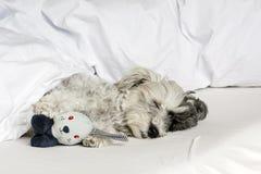 尾随睡觉在与枕头和长毛绒玩具的床上 免版税库存照片