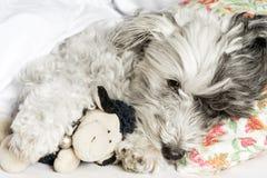 尾随睡觉在与枕头和长毛绒玩具的床上 免版税库存图片