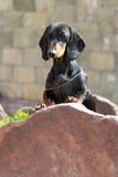 尾随站立与在石头的脚的德国头发的达克斯猎犬 免版税库存照片