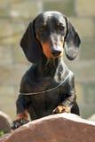 尾随站立与在石头的脚的德国头发的达克斯猎犬 免版税库存图片