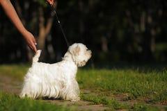 尾随站立在展示位置的品种西部高地白色狗 免版税库存图片