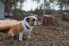 尾随英国牛头犬坐地面外部 免版税库存照片