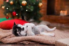 尾随西伯利亚爱斯基摩人,逗人喜爱的矮小的西伯利亚爱斯基摩人小狗 库存照片