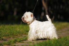尾随西部站立在展示位置的高地白色狗 免版税库存照片