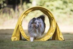 尾随设德蓝群岛牧羊犬, Sheltie,跑在敏捷性隧道 免版税库存图片