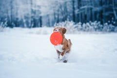 尾随走在冬天公园的新斯科舍鸭子敲的猎犬,使用与飞碟 图库摄影