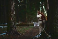 尾随走在春天森林里的品种西伯利亚爱斯基摩人 库存图片