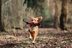 尾随走在春天森林里的新斯科舍鸭子敲的猎犬 图库摄影