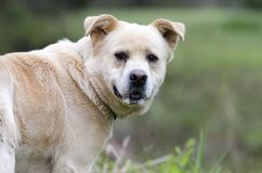 尾随起泡沫在嘴,大比利牛斯混合的金毛猎犬 图库摄影