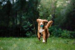 尾随跑在庭院附近的新斯科舍鸭子敲的猎犬 免版税库存图片