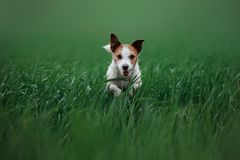 尾随跑在草的杰克罗素狗 免版税库存照片