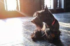 尾随黑狗,在黑地板上在阳光下,定调子 免版税库存图片
