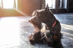 尾随黑狗,在黑地板上在阳光下,定调子 免版税库存照片