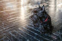 尾随黑狗,在黑地板上在阳光下,定调子 库存图片