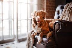 尾随说谎在皮椅的新斯科舍鸭子敲的猎犬在一个木窗口旁边 免版税库存照片