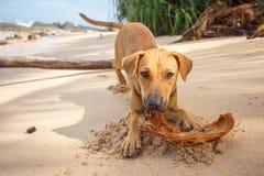 尾随plaing用在热带海滩的椰子 免版税库存图片