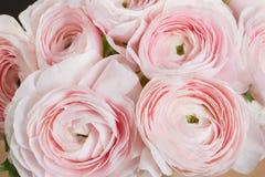 层状瓣喜欢牡丹,梯度 美丽的花束毛茛特写镜头 五颜六色的桃红色空气颜色 库存照片
