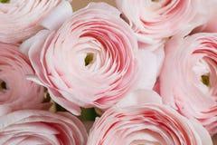 层状瓣喜欢牡丹,梯度 美丽的花束毛茛特写镜头 五颜六色的桃红色空气颜色 库存图片