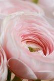 层状瓣喜欢牡丹,梯度 美丽的花束毛茛特写镜头 五颜六色的桃红色空气颜色 免版税库存图片