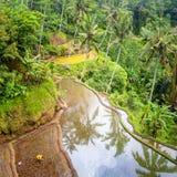 层状米大阳台的地方种植园在巴厘岛, Ind 免版税库存照片