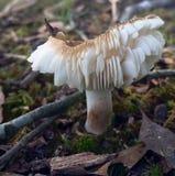 层状蘑菇 免版税图库摄影