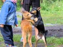 居住与人的小小鹿。 免版税库存图片