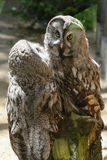 居住在动物园的猫头鹰夫妇  库存照片