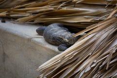 居住在屋顶的鬣鳞蜥观看埃斯孔迪多港墨西哥 库存图片