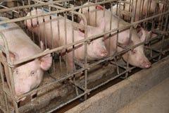 居住在槽枥的母猪在一个工业动物农场 库存照片