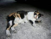 居住在泰国寺庙的无家可归的猫 免版税库存照片