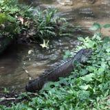 居住在流附近的鬣鳞蜥 库存图片
