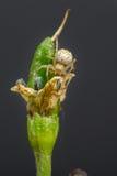 居住在辣椒灌木的小蜘蛛 库存图片