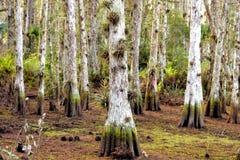 居住的赛普里斯森林 免版税图库摄影