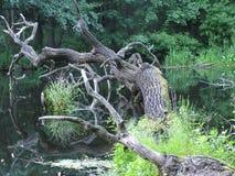 居住死的树 库存图片