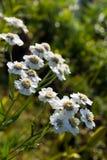 屈曲花属植物 免版税库存照片