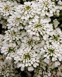 屈曲花属植物sempervirens雪花 库存照片