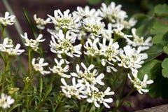 屈曲花属植物Sempervirens Candytuft 库存图片