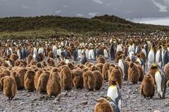 麻屑絮男孩和企鹅国王在Salsbury平原的巨大的群在南乔治亚 图库摄影