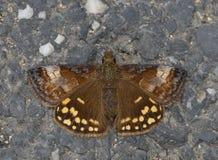 展开的蝴蝶飞过 图库摄影