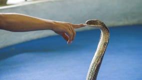 展示的眼镜王蛇, Ao Nang Krabi泰国 影视素材
