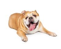 展示舌头的疲乏的老牛头犬 免版税图库摄影