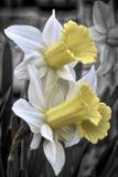 属石蒜科家庭的黄色水仙花 免版税库存照片
