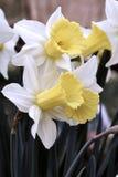 属石蒜科家庭的黄色水仙花 库存图片